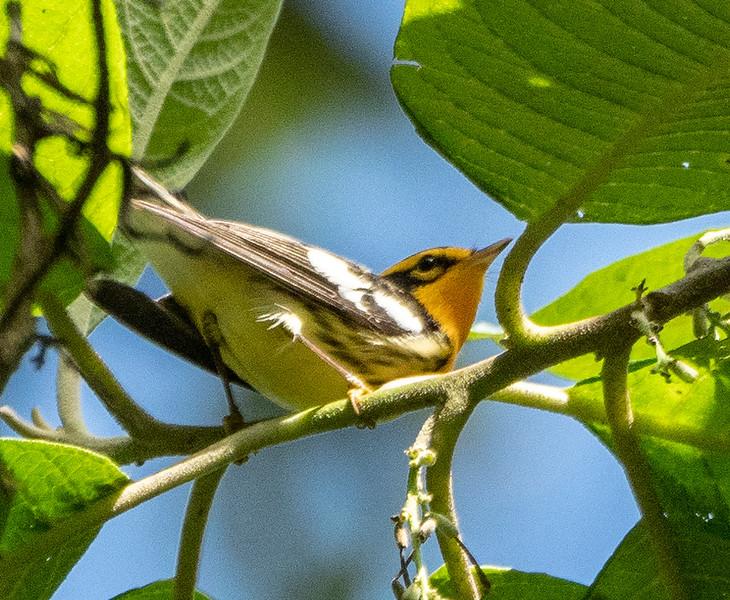 Another Blackburnian Warbler