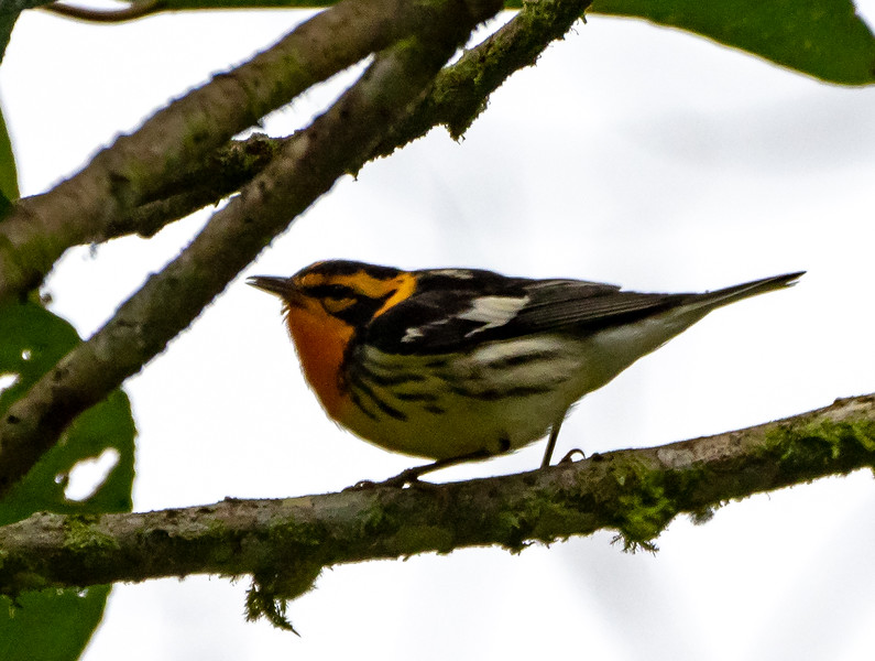 Blackburnian Warbler #5!