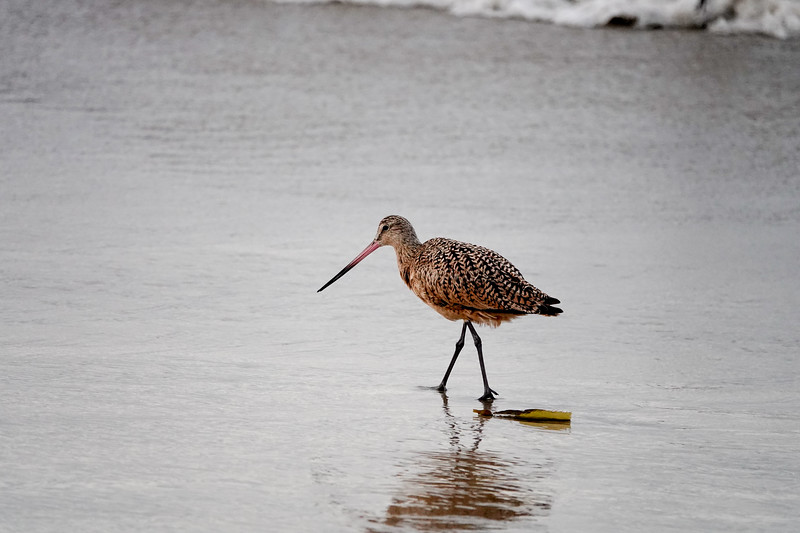 A bird walks on the sands of Hermosa Beach