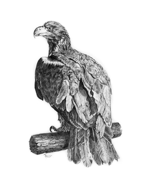 "Graphite pencil drawing by Wildlife Artist, Mary Jane Harman.  <br /> Juvenile Bald Eagle rescued on Hornby Island in 2010.  Named ""Decker"" because he frequented the deck of a local home before being rescued, this eagle is in the care of the North Island Wildlife Recovery Association (NIWRA) and proceeds from the sale of prints will be donated to NIWRA to help with his care.<br /> ©HarmanArt 2011"