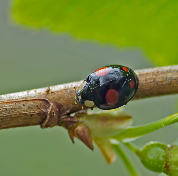 Harmandia axyridis (Harlequin Ladybird)