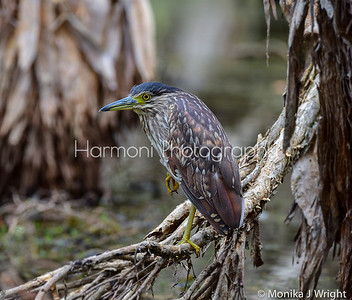 Juvenile Nankeen Night Heron