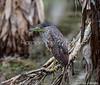 Juvenile Nankeen Night Heron