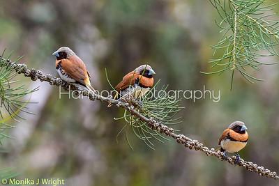 Chestnut Breasted Mannikin Trio