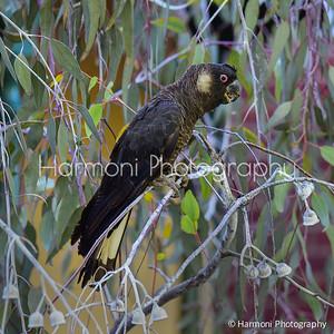 Male Carnaby Cockatoo