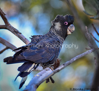 Male, Carnaby's Cockatoo
