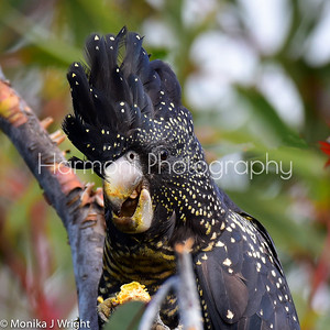 Red Tailed Black Cockatoo (female)