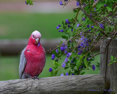 Pink and Grey Galah with purple flower