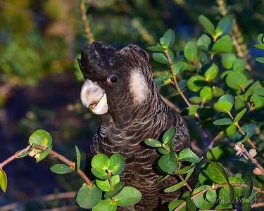 Carnaby Cockatoo