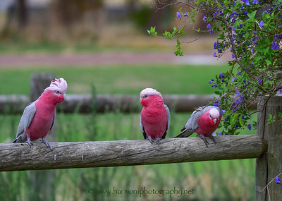 Pink and grey galahs in the country