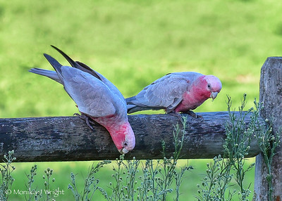 Pink and Grey Galah's on a country fence post