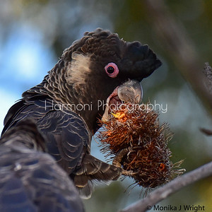 Male Carnaby's Cockatoo
