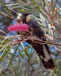 Carnaby's Cockatoo