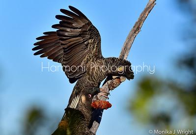 Carnaby Cockatoos