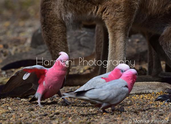 Harmoni Photography Cockatoos and Galahs