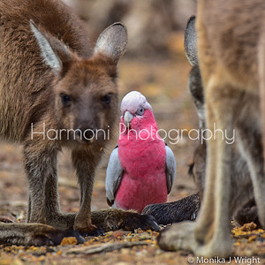 Grey kangaroo and a sweet Pink and Grey Galah