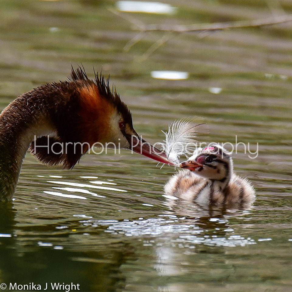 The adult Grebe chased its chick with this feather for a while.  Apparently the chicks are meant to swallow the feather in order to line their stomachs.  The feather acts as a 'filter', keeping nutrients in the stomach longer, and possibly as a protection from fish bones.