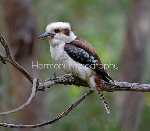 Harmoni Photography Kingfishers and Kookaburras