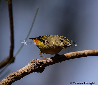 Female Pardalote