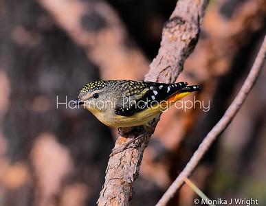 Western Australia female Pardalote
