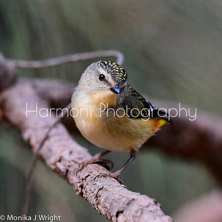 Harmoni Photography Pardalotes