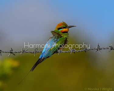 Rainbow Bee Eater, male