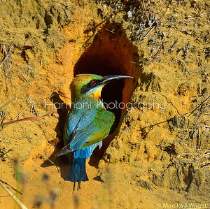 Rainbow bee eater nest