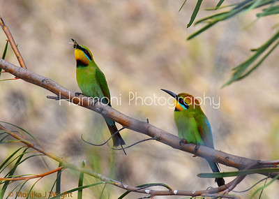 Rainbow Bee Eater pair