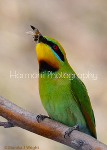 Rainbow Bee Eater closeup