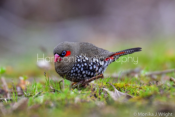 Harmoni Photography Red Eared Firetails