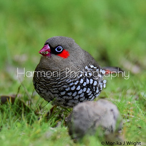 Red eared Firetail behind honky nut