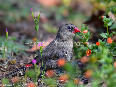 Juvenile Red Eared Firetail (finch)