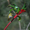Silvereye and kangaroo paw