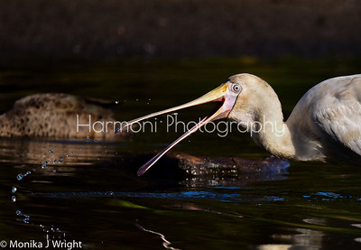 Yellow billed Spoonbill with itty bitty fish