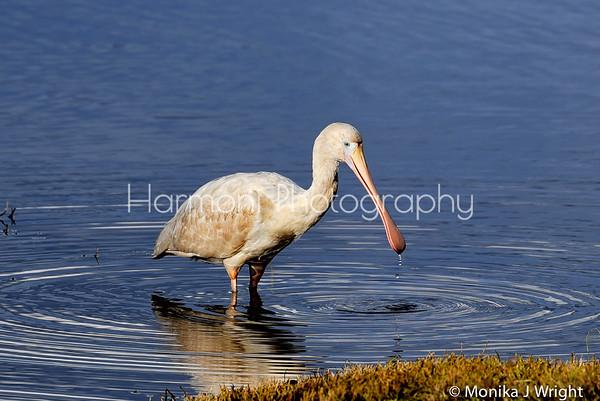 Harmoni Photography Spoonbills