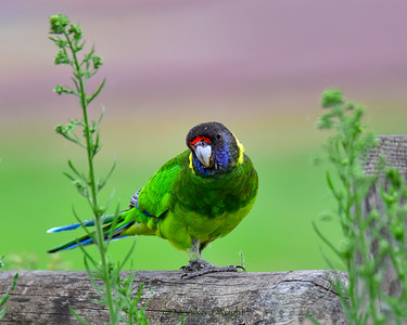 Ringneck Parrot - Twentyeight