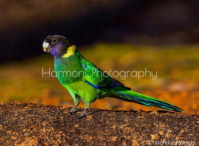 Western Australia Ringneck Parrot
