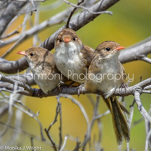 Three female White Winged Blue Fairy Wrens