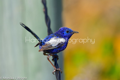 Male White Winged Blue Fairy Wren