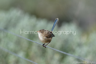 Female white winged blue fairy wren