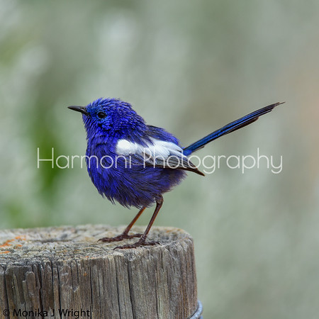 Harmoni Photography White Wing Fairy Wrens