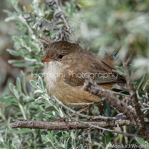 Female White winged fairy wren