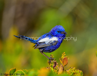 White winged blue fairy wren (male)