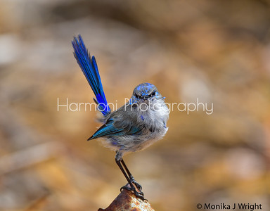 Male Splendid Fairy Wren in Eclipse