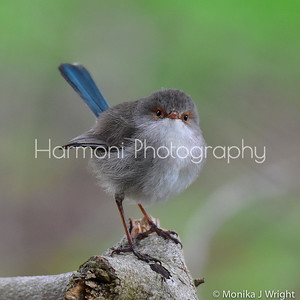 Female Splendid Fairy Wren