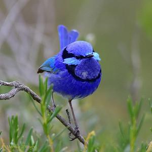 Splendid Fairy Wren, male
