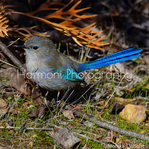 Male Splendid Fairy Wren, 'in eclipse'