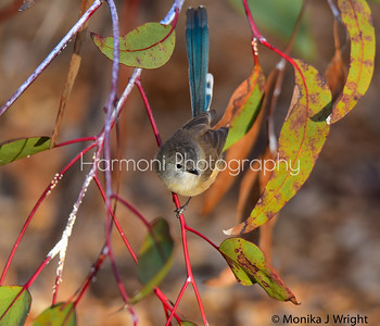Male wren (non breeding plumage) during Autumn in Perth WA