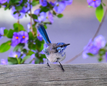 Eclipse Splendid Wren and purple flowers