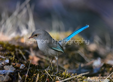 Female Fairy Wren, her tail was very iridescent